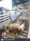 pecore-carico-su-camion-per-il-trasporto-mhnmhn.jpg